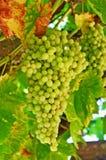 Weintrauben, die auf der Rebe in Kalifornien wachsen Lizenzfreie Stockfotografie