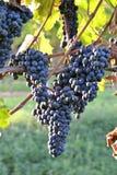 Weintrauben mehrfach Stockfotografie