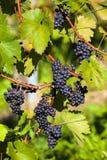 Weintrtauben on the vine in the vineyard Stock Image