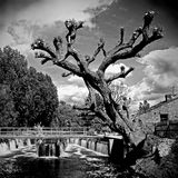 Weir & Tree - Essex UK. A pollarded tree beside a weir - Essex UK Stock Photography