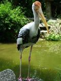Weird Bird. A pretty bird found in singapore zoo Stock Image