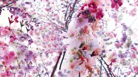 Weird composite abstract Sakura blossom tree in bloom. On a spring day - view from below on Japanese garden sakura stock video