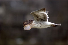 Weird frog bird in flight. This is a weird combination of a toad and a seagull in flight Royalty Free Stock Photo