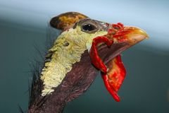Weird head with casque and red wattles of a helmeted guineafow in profile view. Weird head with casque and red wattles of a helmeted guineafowl numida meleagris Stock Photography