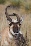 Weird Pronghorn Buck Portrait Stock Photography
