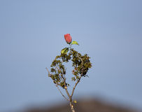 A Weird Rose. A pink rose hung on a piece of bush Royalty Free Stock Image