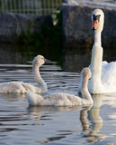 Weird swan Royalty Free Stock Images