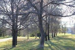 Weird tree. Riversdale area along Spadina Stock Photos