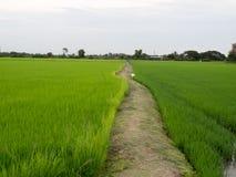 Weise auf dem grünen Reis-Gebiet Stockfoto