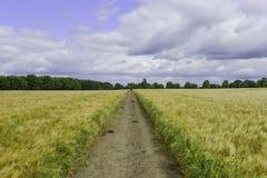 Weise durch das Weizenfeld Stockbild