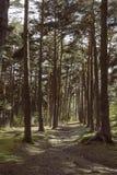 Weise durch den Kiefernwald lizenzfreies stockbild