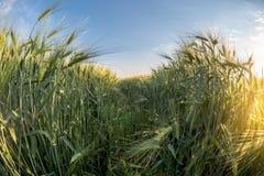 Weise durch junge Gerste, blauer Himmel auf Hintergrund, Erntefeld, Landwirtschaft, Sonnenlicht, fisheye Effekt, Abschluss Stockbilder