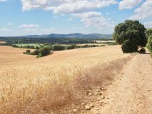 Weise nahe bei Weizenfeldern auf französischem Weise Camino De Santiago Spai stockbilder