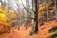 Weise trought der Herbstwald Stockfoto