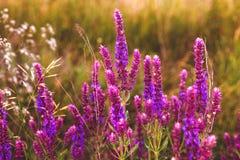 Weises salvia Blumengartenpflanze-Naturpurpur Stockfotografie