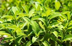 Weises (Salvia) Salbei lizenzfreies stockfoto