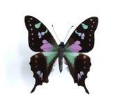 Weiskei de Graphium (Swallowtail manchado roxo) Fotografia de Stock Royalty Free