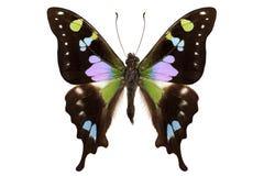 Weiskei Graphium ειδών πεταλούδων στοκ εικόνες