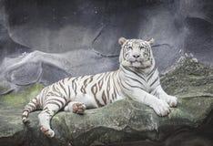 WEISSER TIGER auf einem Felsen lizenzfreie stockfotos