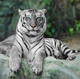 WEISSER TIGER auf einem Felsen im Zoo Lizenzfreies Stockbild