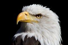 Weisskopfseeadler photo libre de droits