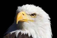 Weisskopfseeadler Immagini Stock