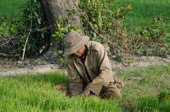Weit vom männlichen Reis-Praktiker, der Reis in Südostasien erntet Stockfoto