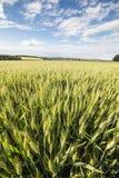 Weitwinkel zum Weizenfeld Lizenzfreie Stockfotos