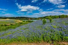 Weitwinkelansicht von berühmten Texas Bluebonnet (Lupinus texensis) Wi lizenzfreies stockfoto