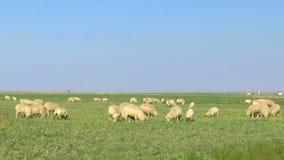 Weitwinkelansicht von den weiden lassenden Schafen stock footage