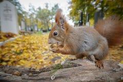 Weitwinkeleichhörnchen Stockbild