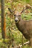 Weißwedelhirsche Buck Fall Rut Rub Lizenzfreie Stockfotografie