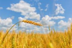 Weizenähre auf einem Hintergrund des Feldes und des bewölkten Himmels Stockfoto