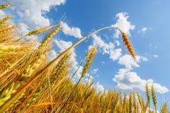 Weizenähre auf einem Hintergrund des Feldes und des bewölkten Himmels Stockfotos