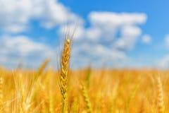 Weizenähre auf einem Hintergrund des Feldes und des bewölkten Himmels Stockbild
