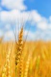 Weizenähre auf einem Hintergrund des Feldes und des bewölkten Himmels Stockfotografie