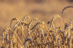 Weizenähredanksagung Stockfotos