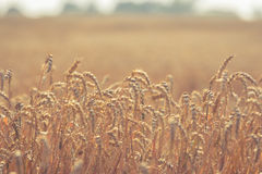 Weizenähredanksagung Stockfotografie