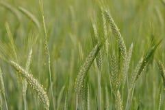 Weizenähren Lizenzfreies Stockbild
