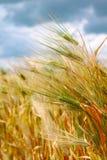 Weizenähren Stockfotos