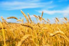 Weizenähren Stockbilder