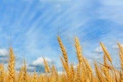 Weizenähren auf einem Hintergrund des bewölkten Himmels Lizenzfreie Stockfotos