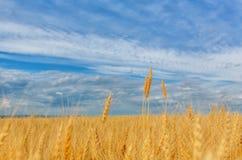 Weizenähren auf einem Hintergrund des Feldes und des bewölkten Himmels Lizenzfreie Stockfotos