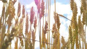 Weizenähren beeinflussen vom Wind gegen die Nahaufnahme des blauen Himmels Ernte von Getreide Bewegung von goldenen Ährchen des W stock video footage