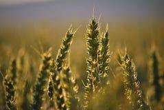 Weizenähren mitten in dem Feld Stockbilder