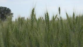 Weizenähren oder Getreide stock video footage