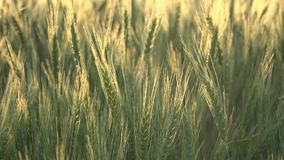 Weizenähren oder Getreide stock footage