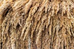 Weizenähren oder Roggenspitzen Stockfoto