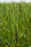 Weizenähren reifen auf dem Feld Stockfotos