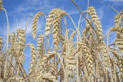 Weizenähren voll von Körnern am Getreidefeld über blauem Himmel Stockfotografie